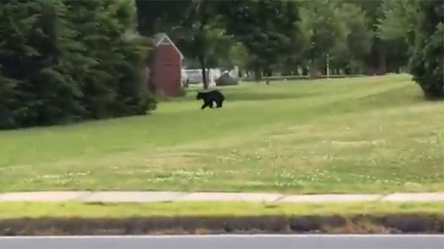 Police tracked a bear that wandered through the campuses of at least two Wethersfield schools on Friday morning. (Kyle Banasiewicz/iWitness)