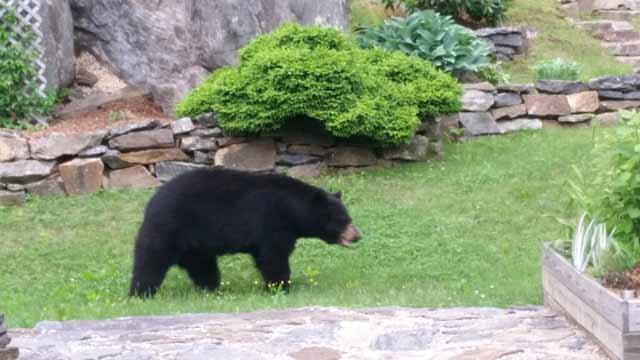This bear was spotted in the area recently, but it is unclear if it was the one involved (iwitness)