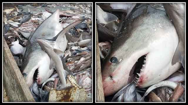 VIDEO: Fisherman catches great white shark off coast of Misquamicut Beach