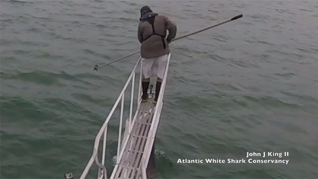 Great white shark leaps from water and startles researcher