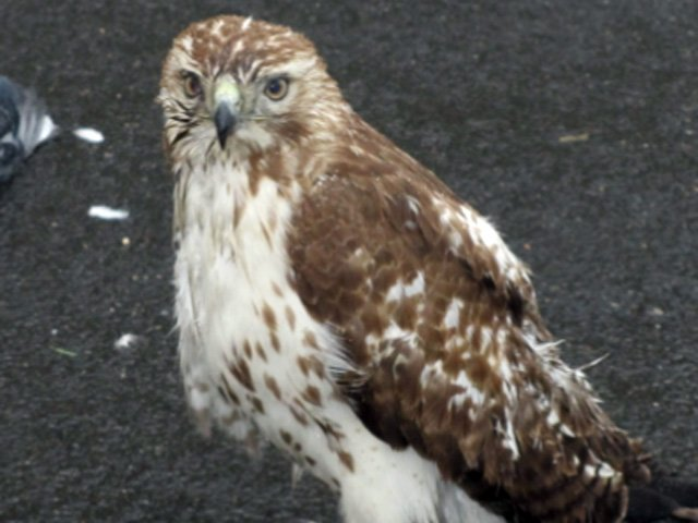 Police in Springfield said a man stomped on this hawk as it was feeding on a pigeon it just hunted.