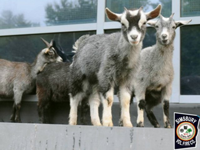 Goats found at Simsbury High School may be a senior prank