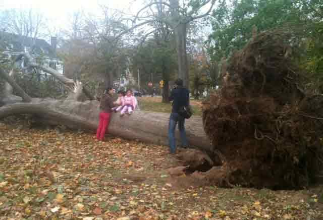 © Trees uprooted on the Guilford Town Green.