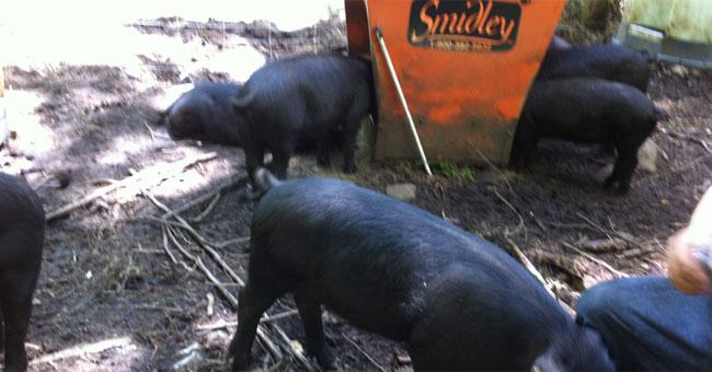 Mulefoots feed at Firefly Farm in North Stonington.