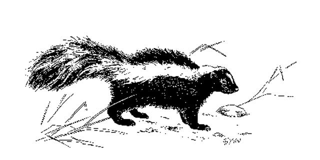 The following photo of Eastern striped skunk was provided by the Connecticut Department of Energy and Environmental Protection.