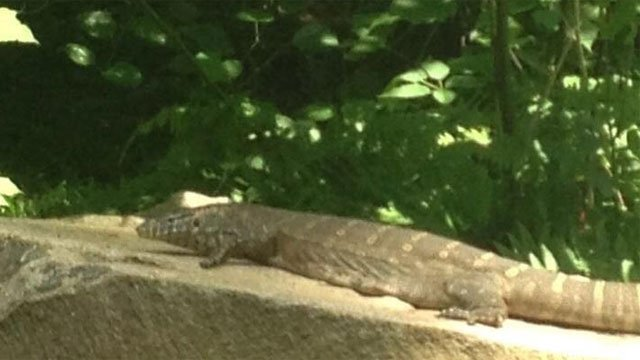 The following photo of monitor lizard was provided by the Ledyard Police Department.