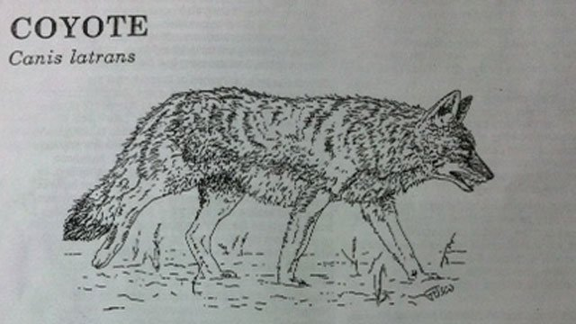 The following photo of coyote was provided by the Connecticut Department of Energy and Environmental Protection.