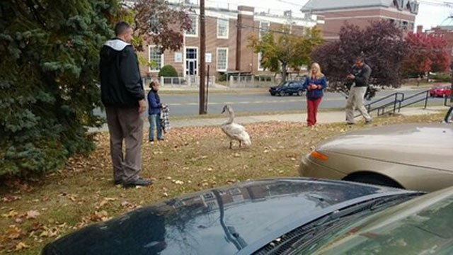 A swan was photographed in front of Danbury City Hall (Photo Courtesy of Mayor Mark Boughton's Twitter account)
