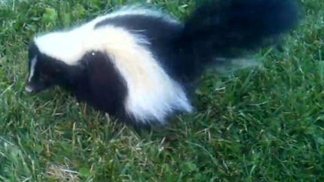 Police said they want to make sure the woman who brought a rabid skunk to the vet is okay. (YouTube photo)