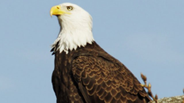 The following photo of a bald eagle was provided by the CT DEEP website.