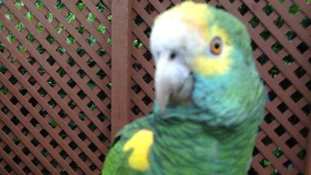 The following photo of parrot was provided by the Fairfield Police Department.