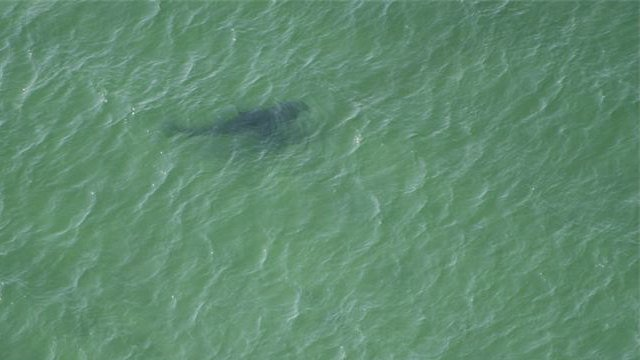 A great white shark spotted near Chatham, MA by Cape Cod Shark Hunters last year.