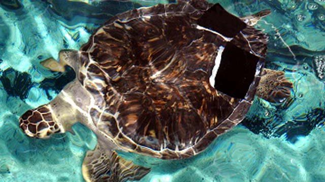 Charlotte the sea turtle at Mystic Aquarium (Mystic Aquarium photo)