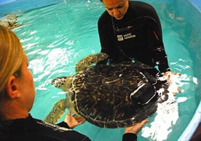 Team helping Charlotte the sea turtle (Mystic Aquarium photo)