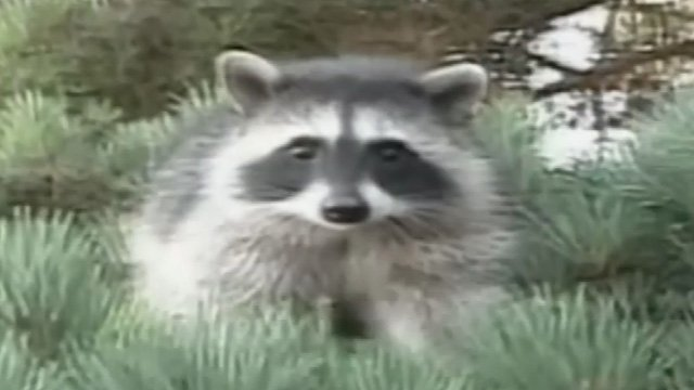 A raccoon like this entered an elderly woman's home with her cat. (WFSB file photo)