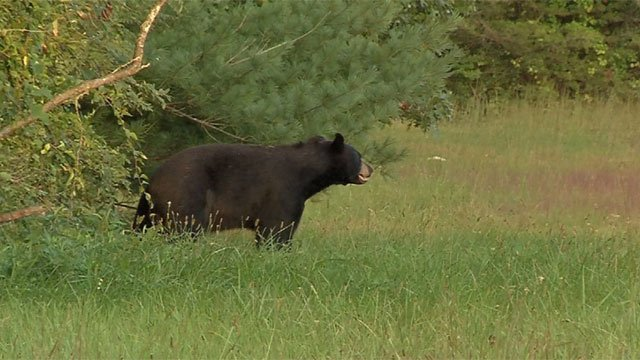 A possibly injured Black Bear was spotted off Route 4 in Farmington (WFSB photo)