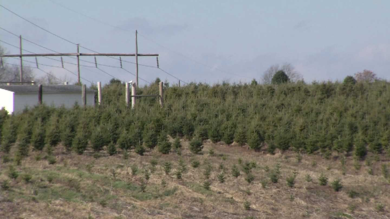 christmas tree farm in ct