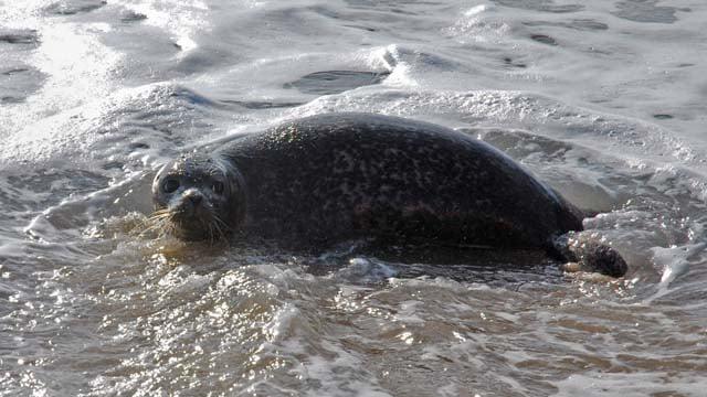 Mystic Aquarium Releases 16th Seal Pup After
