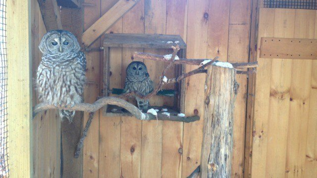 Owls at Nature Center eat the mice. (WFSB)