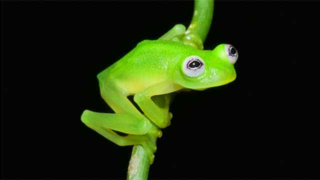 Newly discovered frog resembles Kermit (CBS)