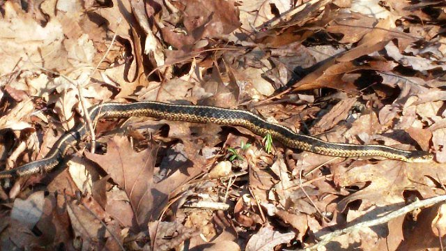 Garter snake sunning itself on the trail (WFSB)