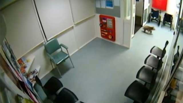 Security cameras at the Hamilton Base Hospital in Australia captured a koala strolling through the facility. (CBS)