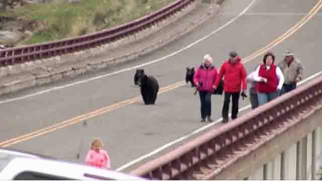 Family of black bears run after tourists. (CNN)