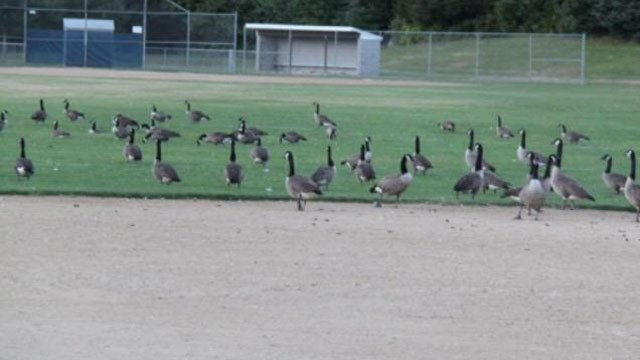 Preston Community Park is lovely until midsummer when Geese drop in. Now, a Border Collie is being considered to rid the geese. (WFSB)