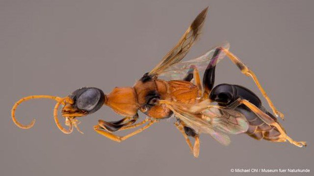 The Ampulex dementor wasp. (@WWF photo)