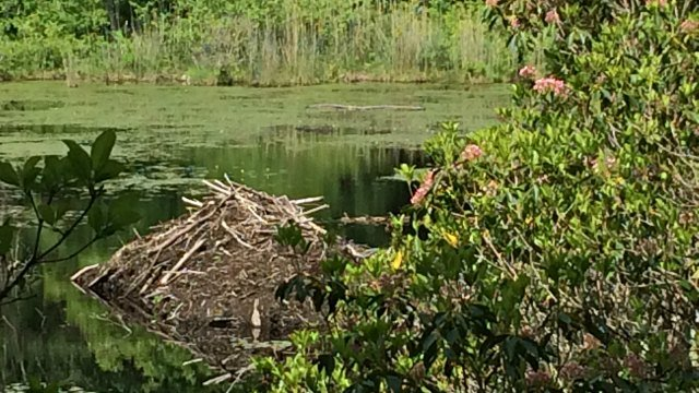 Beaver dam in pond along trail