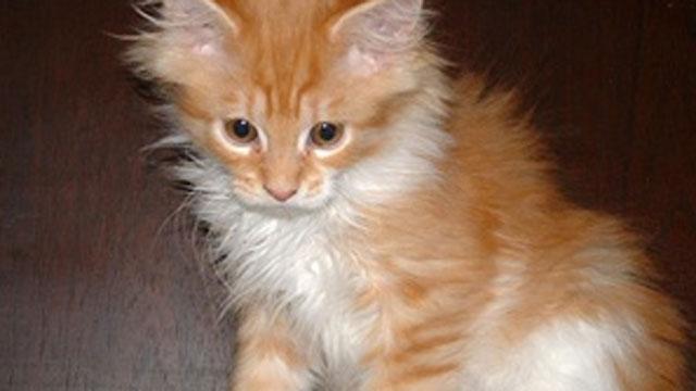 Generic photo of kitten. Photo Credit: GNU Image