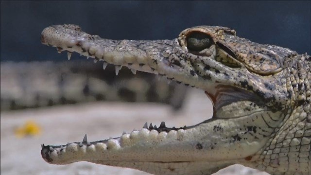 About a dozen rare Cuban crocodiles will be released to the wild. They are listed as critically endangered. (CBS photo)