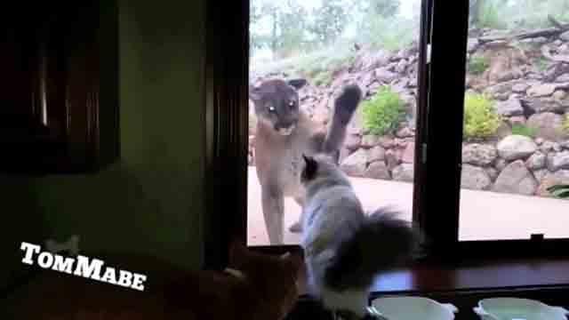 Mountain lion, cat face off through sliding door window (CNN)