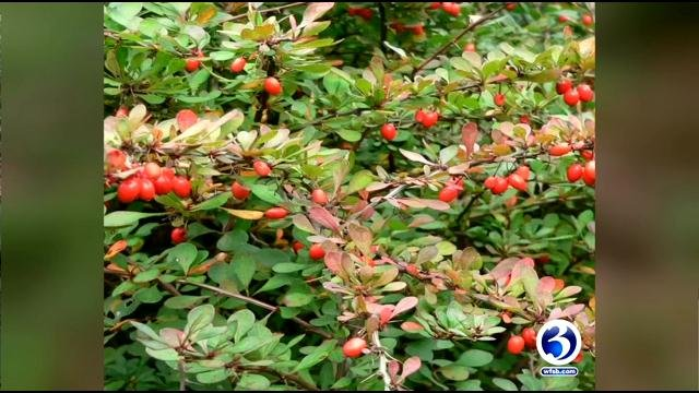 The invasive plants known as Japanese Barberry are common in Connecticut, and some may even have them in their yard as a decorative bush or hedge. (WFSB)