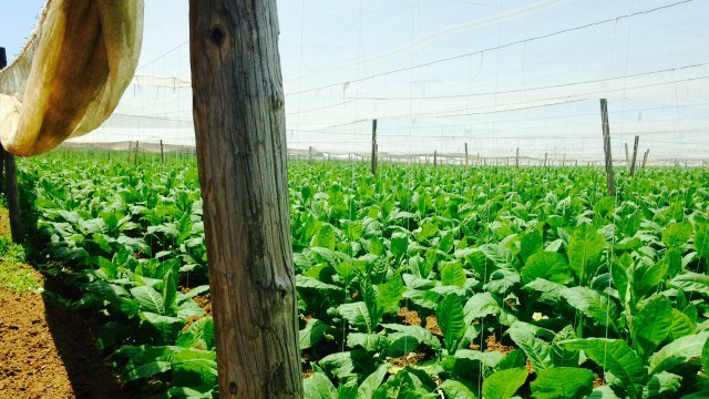 ATV were heard on camera riding near these tobacco fields in East Windsor. (WFSB)