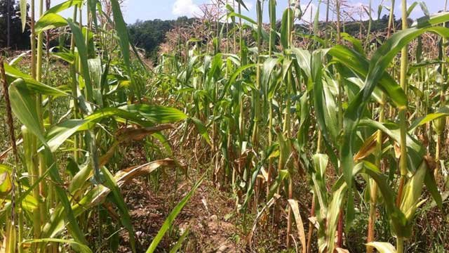 Sweet corn should be ready for Connecticut consumers this holiday weekend. (WFSB file photo)