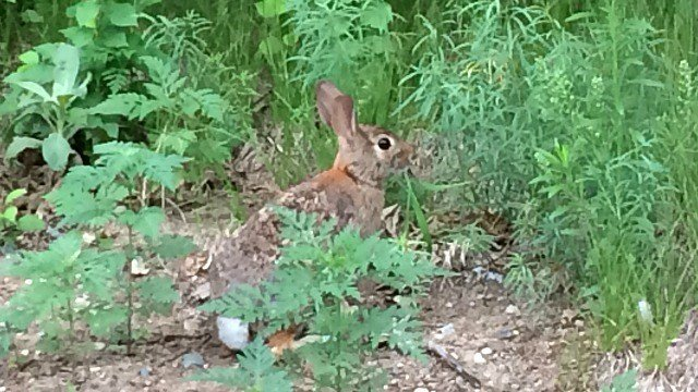 Wary rabbit at park in Plainville