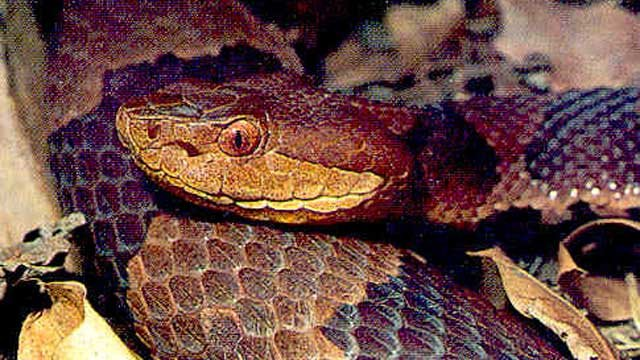 The northern copperhead. (DEEP photo)