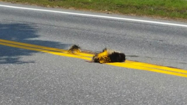 WCAX obtained this photo of a dead skunk that was painted over. (WCAX)