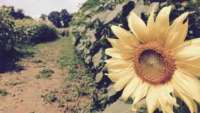 Sunflower fundraiser helps Make-A-Wish (WFSB)