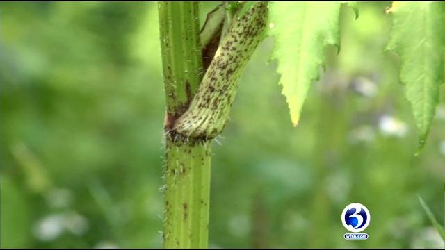 Giant Hogweed can cause skin irritation. (WFSB)