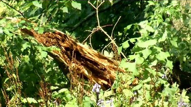 Trees were knocked over in Lebanon because of the storms. (WFSB)