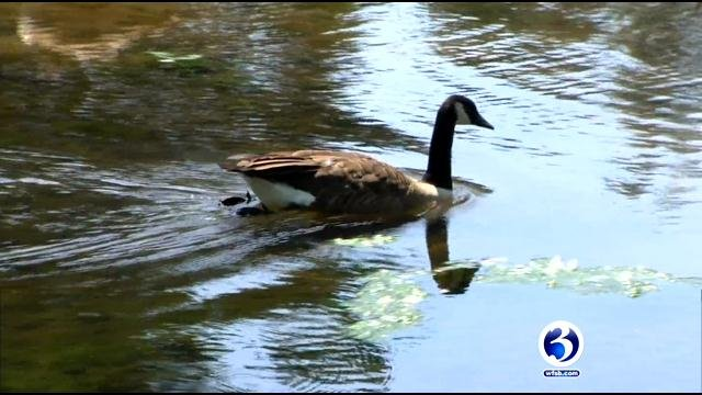 Geese taking over Bristol park (WFSB)