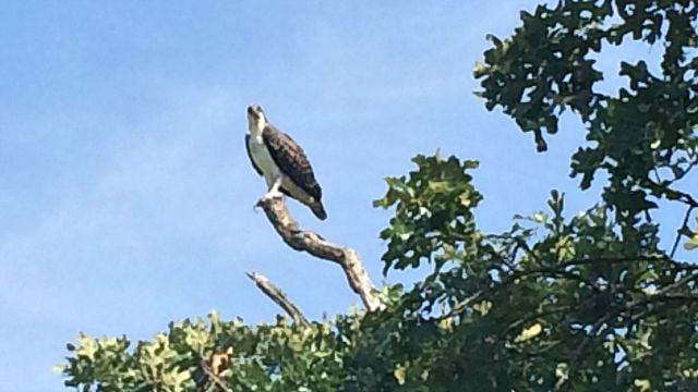 Osprey perches above marsh