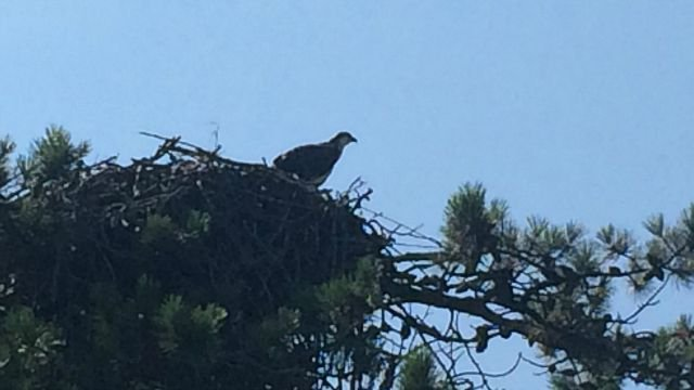 Osprey peering over edge of nest