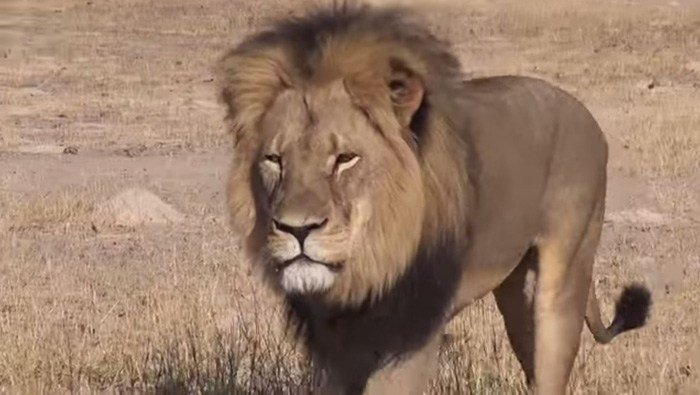 Zimbabwean police said Tuesday they are searching for an American who allegedly shot a well-known, protected lion with a crossbow in a killing that has outraged conservationists and others. (Source: Bryan Orford/YouTube)