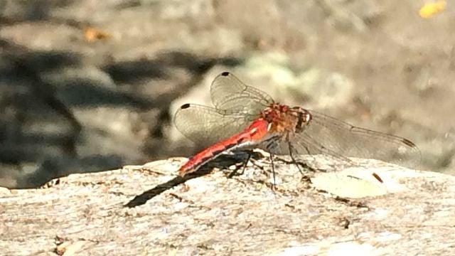 Dragonfly at rest at Devil's Den