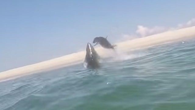 (Atlantic White Shark Conservancy photo)