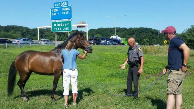 An off-duty trooper helped save the horse that got out of a trailer near I-91. (CT State Police)
