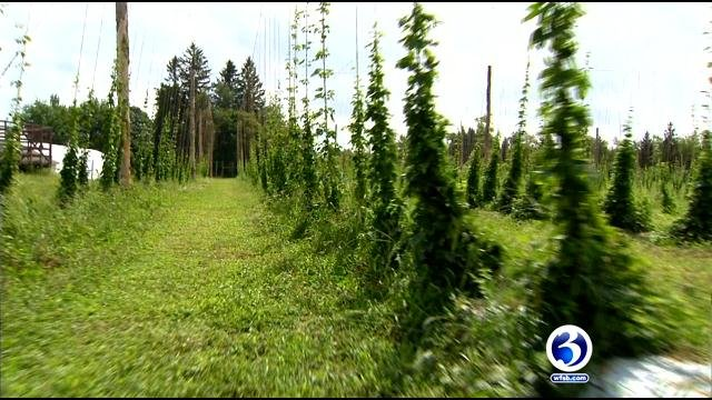 Eyewitness News learned more about hops after visiting Pioneer Hops of Connecticut in Morris. (WFSB)